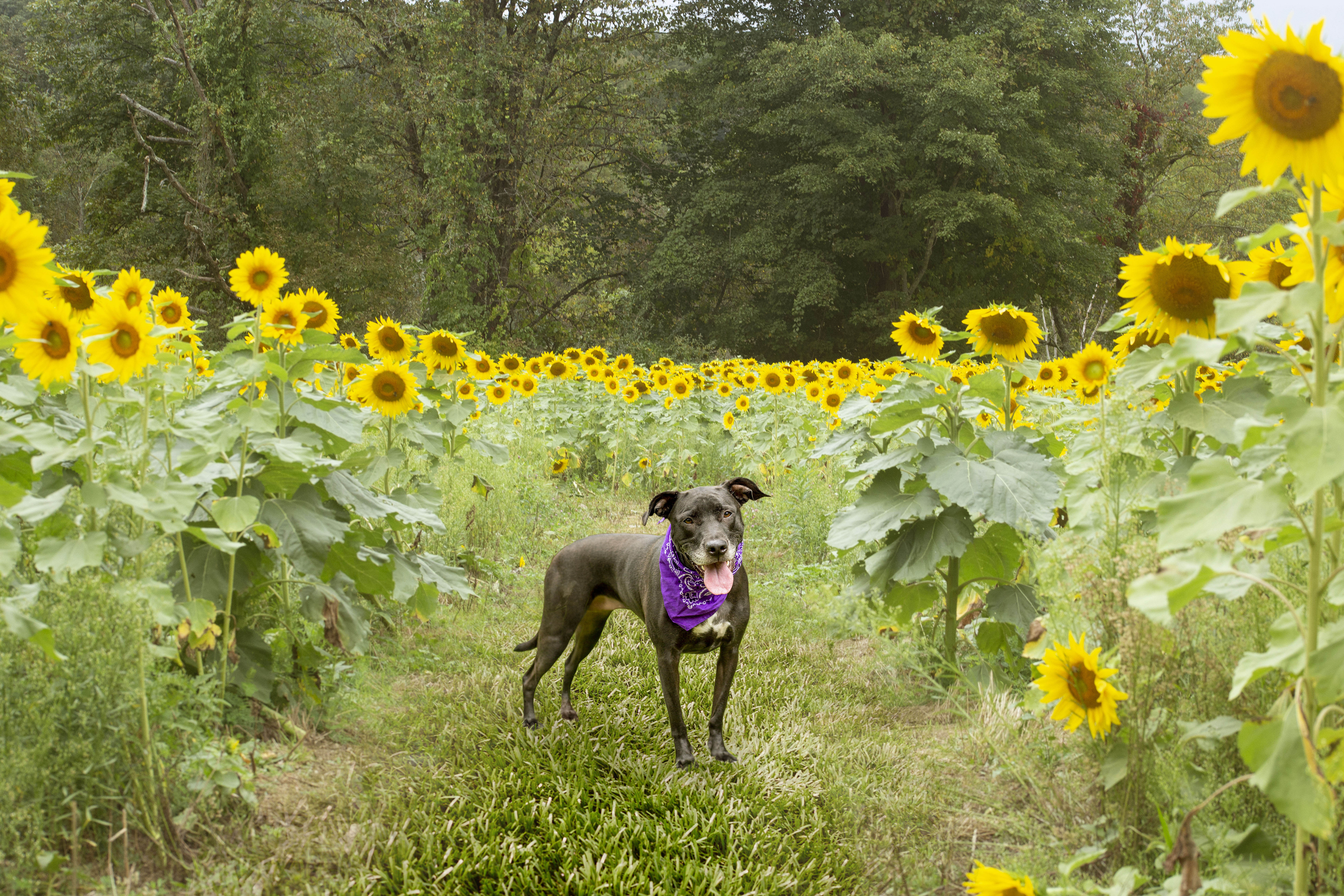 Sunflower Photo Sessions with Your Dog